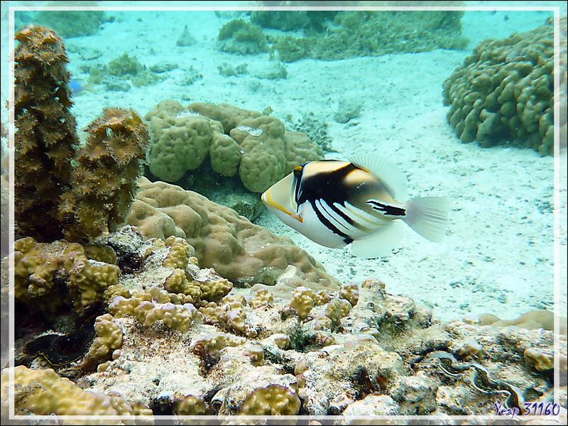Baliste Picasso clair, Blackbar triggerfish (Rhinecanthus aculeatus) - Jardin de Corail - Motu Tautau - Taha'a - Polynésie française