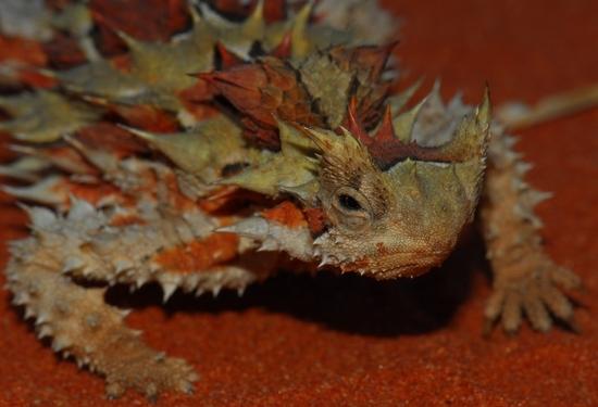 moloch horridus - le moloch hérissé (4)