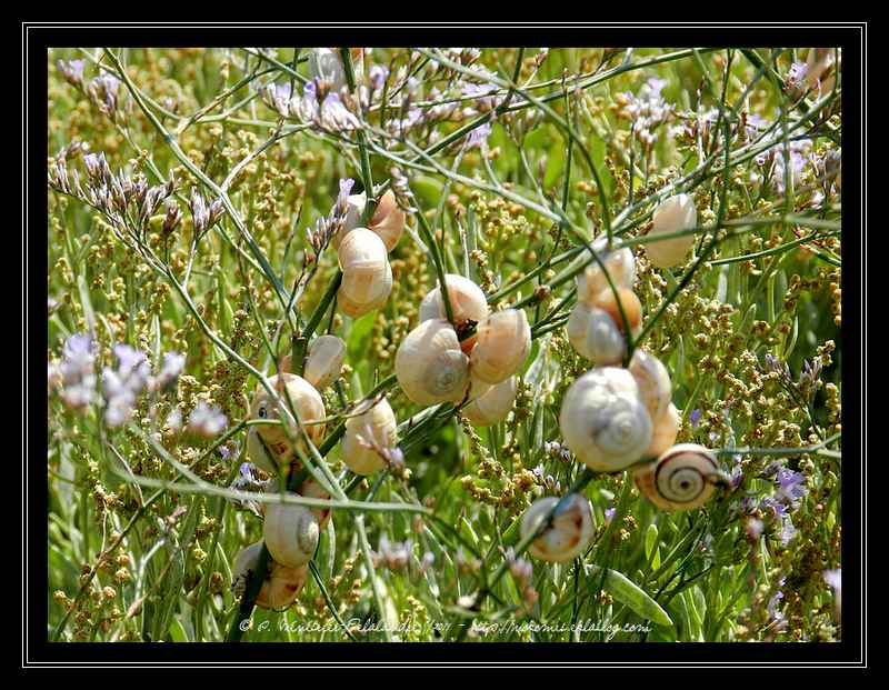 Theba pisana : Ces escargots qui s'agglutinent...