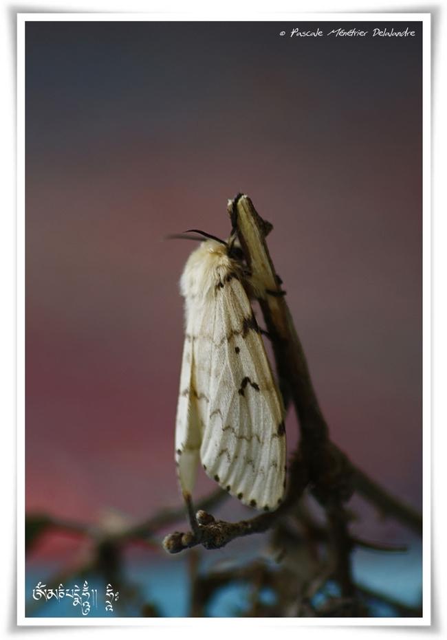 Bombyx disparate, (Lymantria dispar)