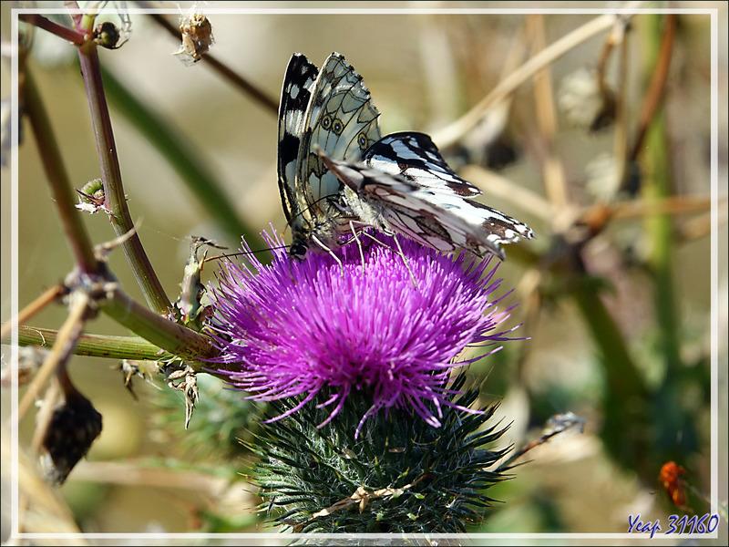 La cour de Monsieur à Madame : Papillon demi-deuil (Melanargia galathea) - Ars-en-Ré - Île de Ré - 17