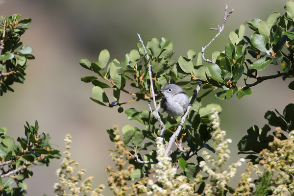 Catalina Island - Blue-gray Gnatcatcher
