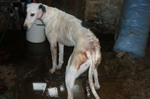 La double peine des Greyhounds de course, Première race au monde la plus euthanasiée