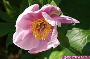 pivoine pink chalice