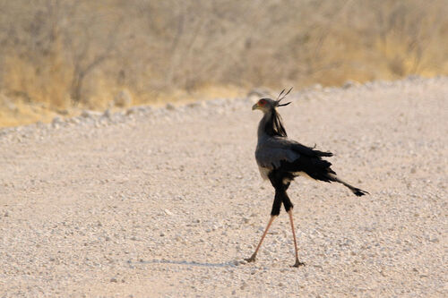 Messager sagittaire (Secretarybird)