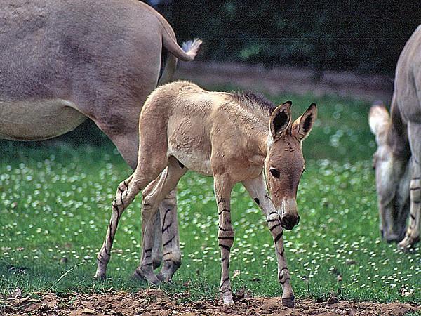 800px-Equus_asinus_somalicus.jpg