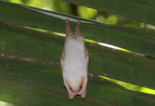 Chauves-souris au Costa Rica