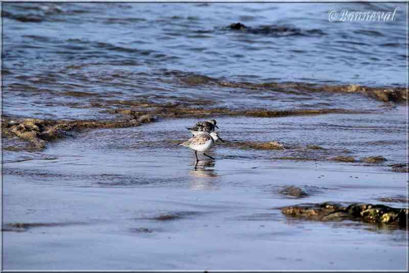 Bécasseau sanderling Ile de Ré
