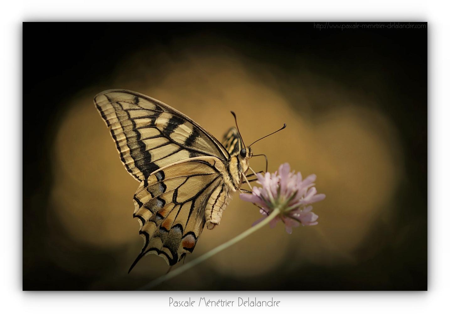 Machaon (Papilio machaon) - Papilionidae
