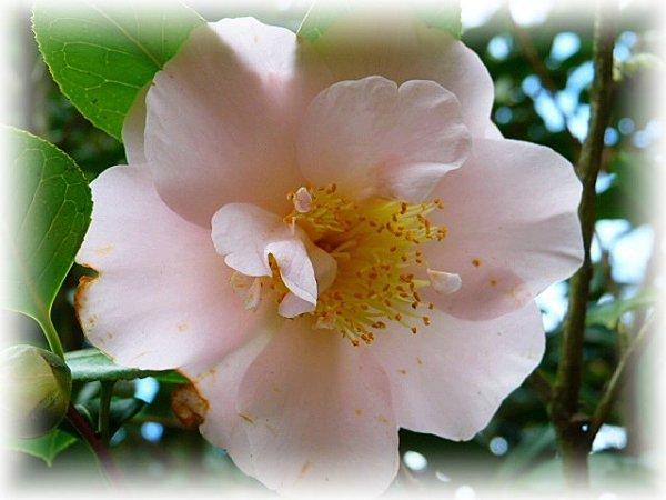 cam rose pale