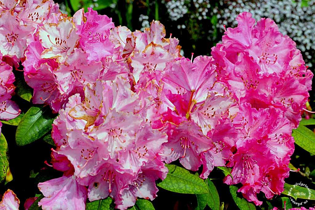 Les fleurs de mon jardin (4)