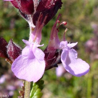 Teucrium chamaedrys  -  germandrée petit chêne