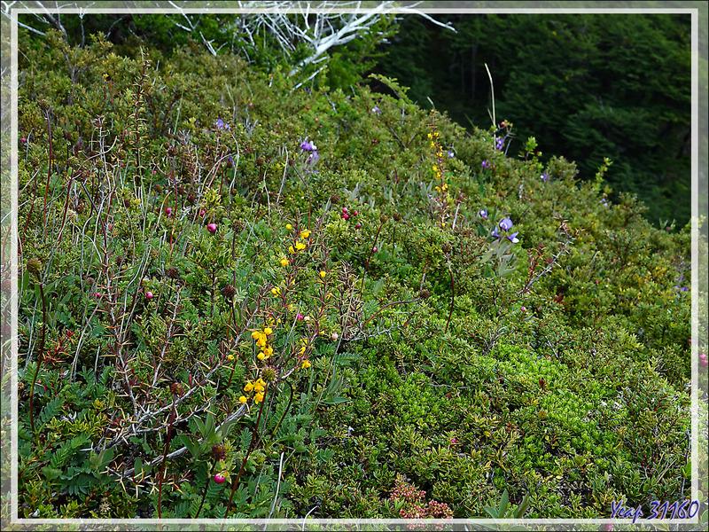Petit bosquet avec en premier plan un Calafate ou Berbéris à feuilles de buis (Berberis buxifolia) - Lago Grey - Parque Torres del Paine - Patagonie - Chili