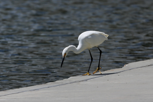 Rainbow Harbor - Snowy Egret