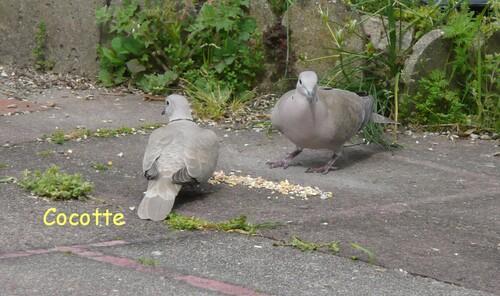Cocotte, tourterelle rieuse (3)