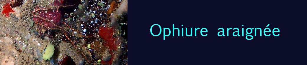 ophiure araignée