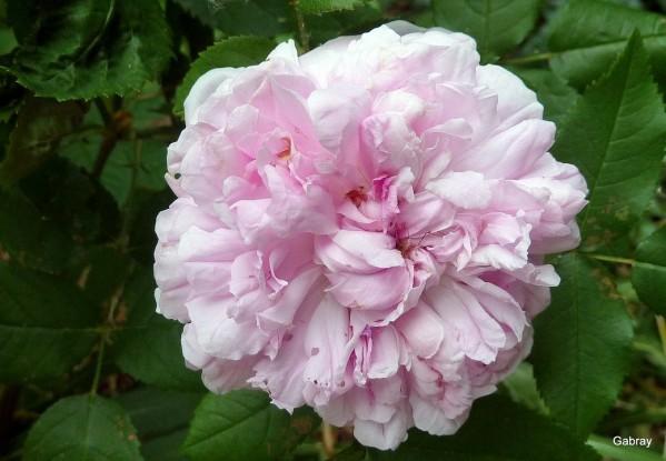 z24 - Rose