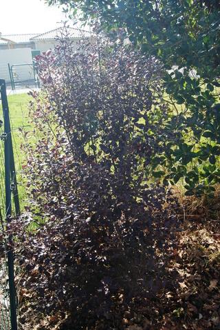 pittosporum tenuifolium purpureum