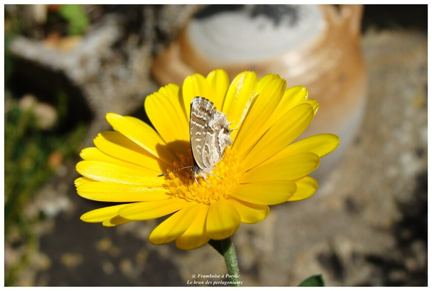 Papillon, le brun du pélargonium - 2017