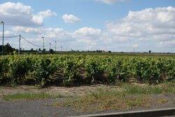 GS: visite  des vignes