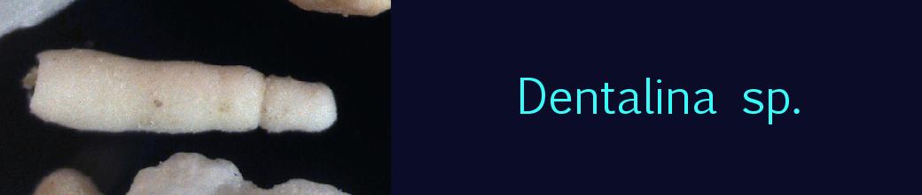 Dentalina sp.