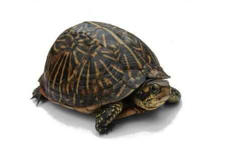 Plus tôt cette année, les mêmes scientifiques ont montré que d'autres reptiles, en l'occurrence des tortues (ici un individu de Terrapene carolina bauri), pouvaient apprendre à utiliser un ordinateur à écran tactile. © Jonathan Zander, Wikimedia Commons, cc by sa 3.0