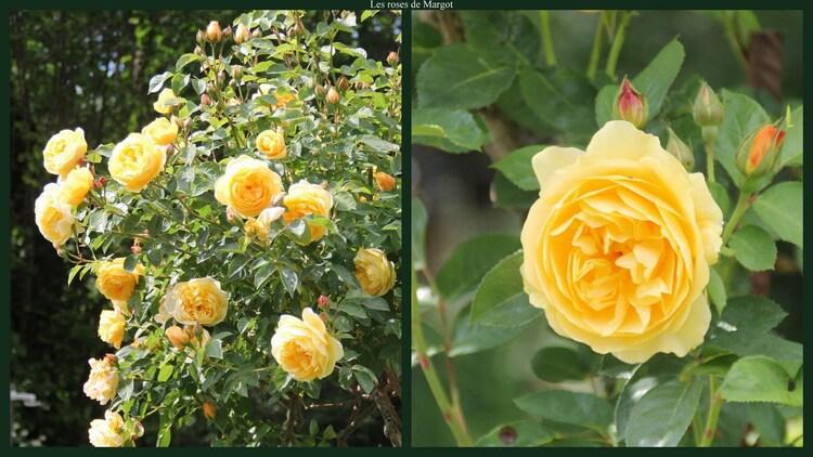 Les roses de Margot