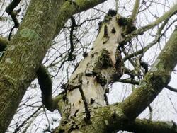 Elagage : arbre en danger de mort ?