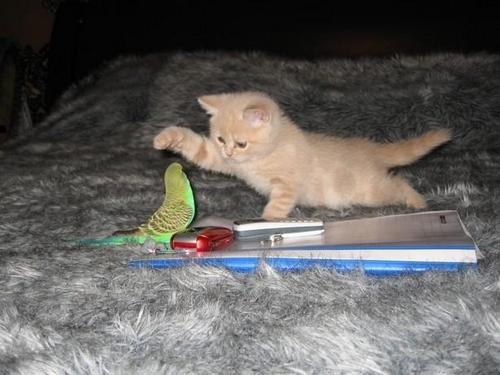perruche et chaton