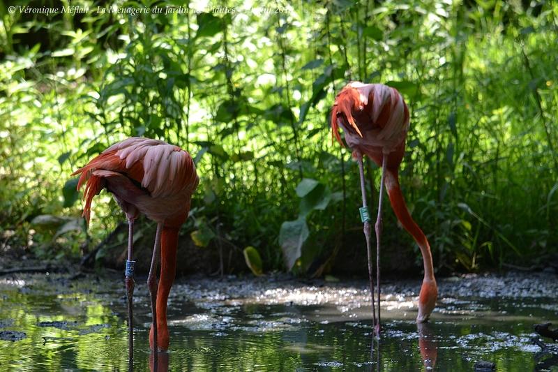 La Ménagerie du Jardin des Plantes : Le Flamant rouge
