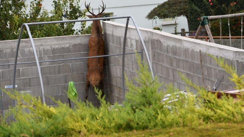Puy-de-Dôme : un cerf abattu après avoir trouvé refuge dans le jardin d'un particulier