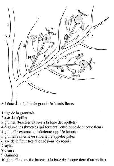 Glossaire à l'usage des graminées/poaceae
