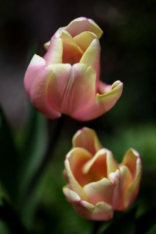 Tulipes 2019 : Mango Charm