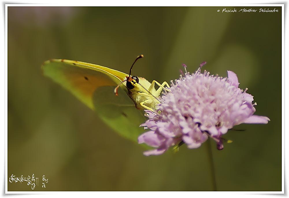 Citron de Provence (Gonepteryx cleopatra)