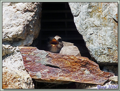 Gobemouche gris (Muscicapa striata) - Lartigau - Milhas - 31  (Faune)