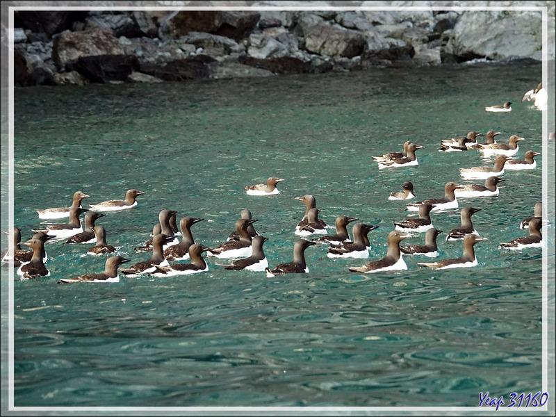 Le bain des Guillemots de Brünnich - Cambridge Point - Coburg Island - Baffin Bay - Nunavut - Canada