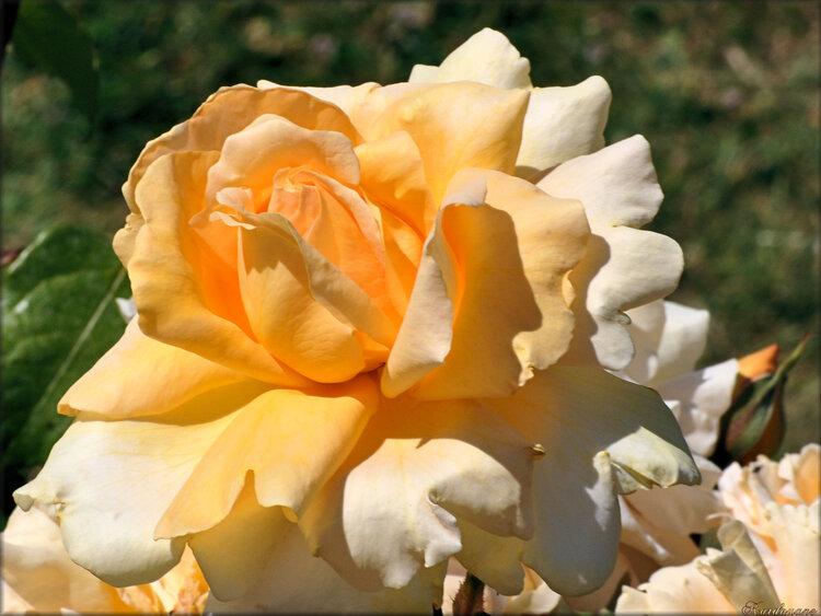 Photo de rose jaune pale (fleur-flore)