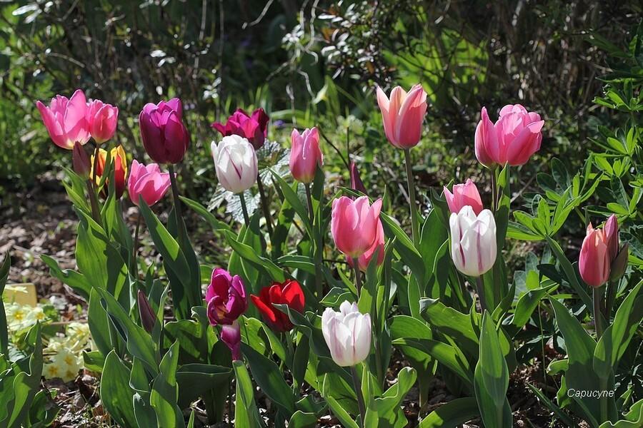 Bulbes de printemps au jardin