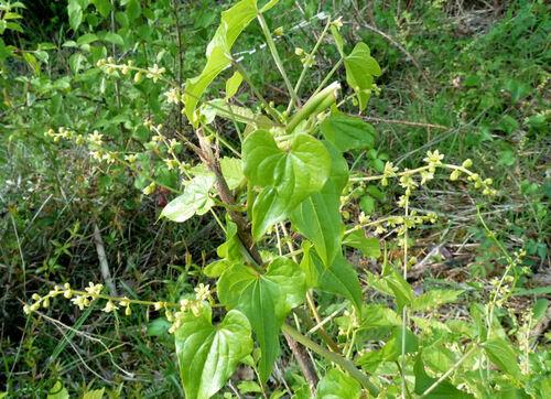 Tamus communis - tamier commun - herbe aux femmes battues