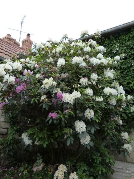 jardins-d-auger---mai-2014---chez-daniel---rhododendrons.jpg