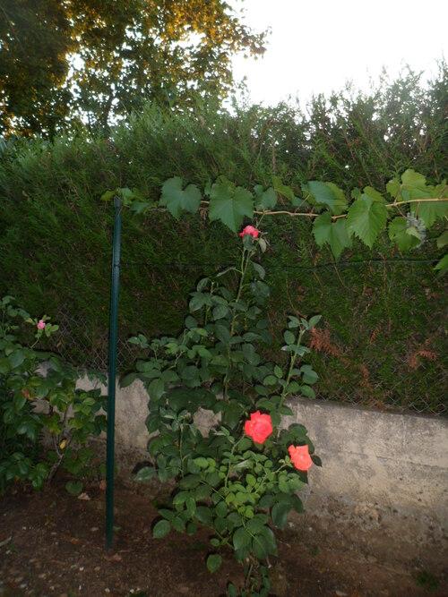 30 07 15 Le raisin commence  à grossir et  à rougir, tout fleurit, le gazon est rapé..