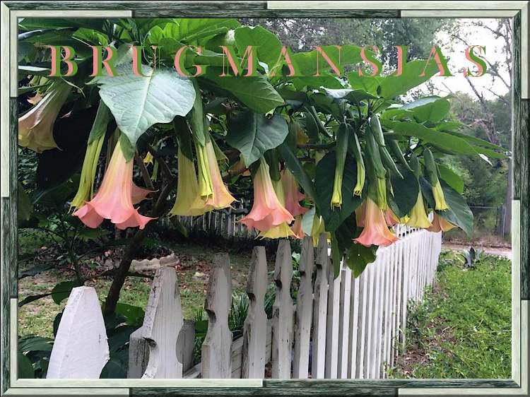 Fleurs cultivées : Brug