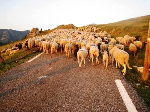 La visite médicale hebdomadaire des ovins