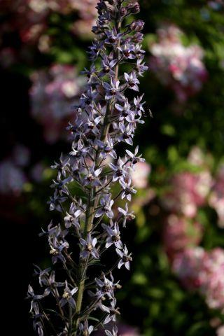 Des compagnes pour mes roses : Delphinium requienii