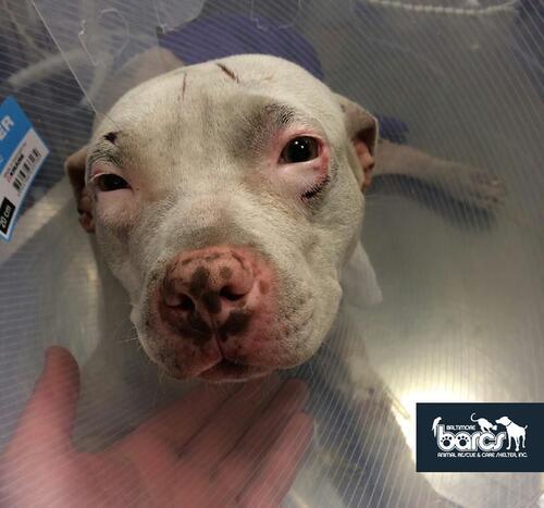 (-*♥*-)  Une chienne couvre son sauveur de bisous quelques moments après avoir perdu la patte dans un accident de train