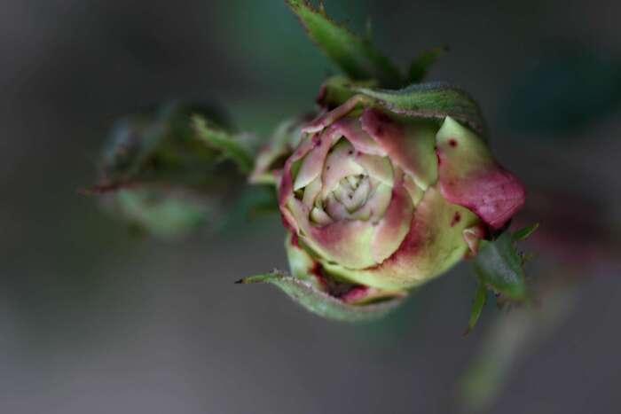 Les Roses de Warren : White Tuxedo