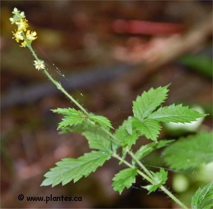 Photo d'Aigremoine à sépales crochus - Agrimonia gryposepala