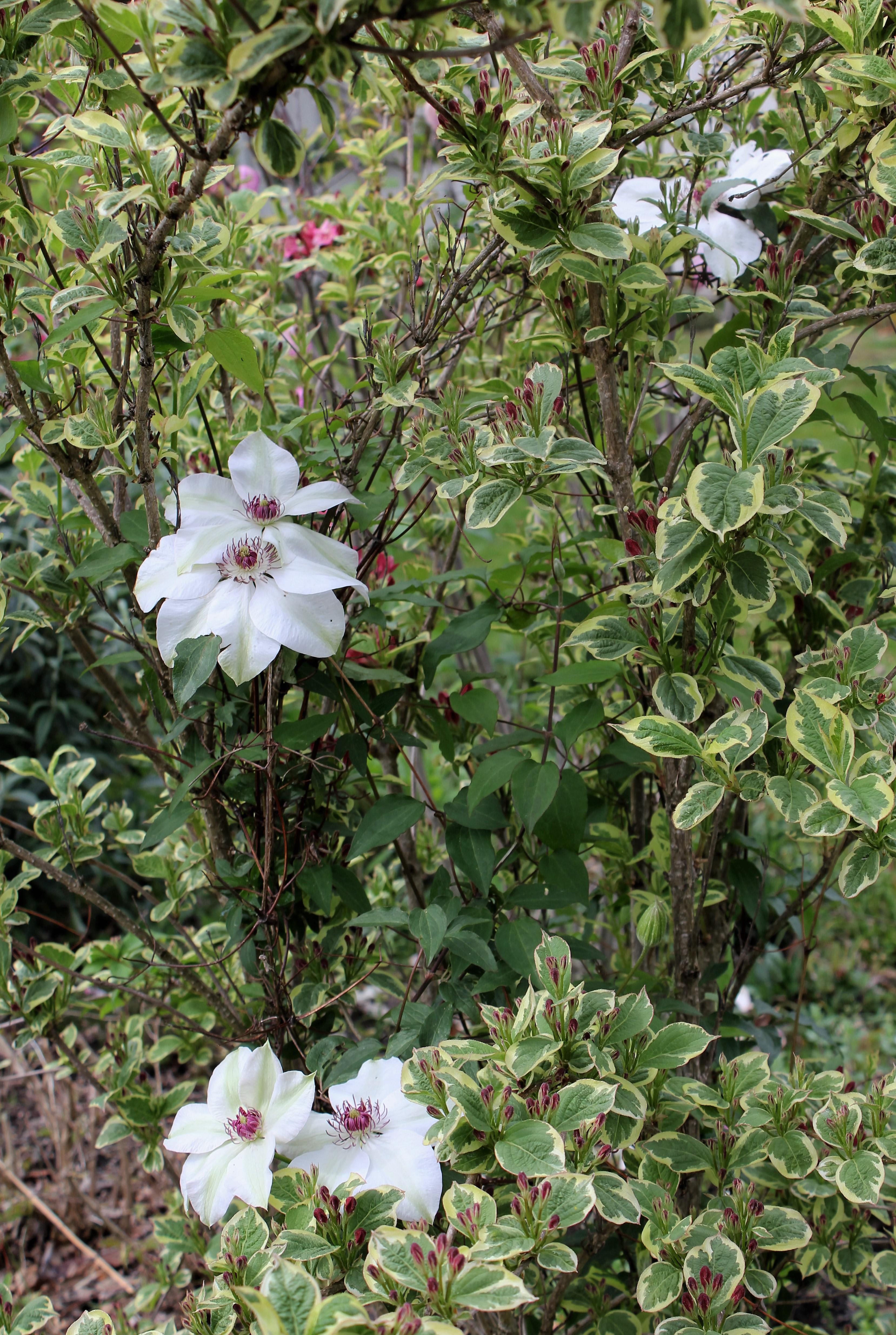 clématite Miss Bateman, weigelia florida variegata