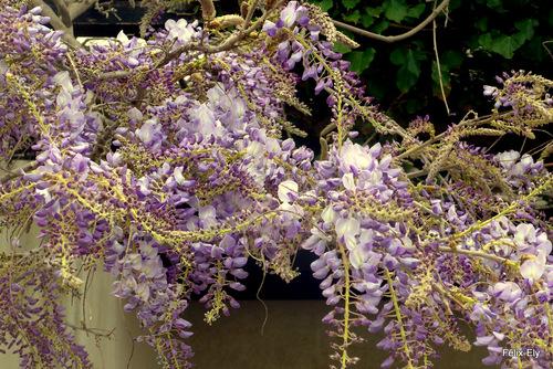 Les fleurs de la glycine