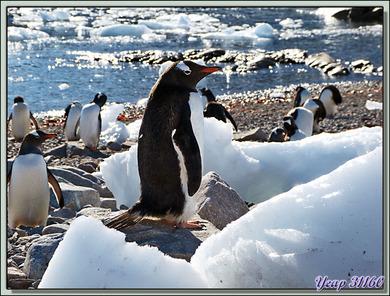 Les Manchots Papous de Neko Harbour - Paradise Bay - Pénisule Antarctique